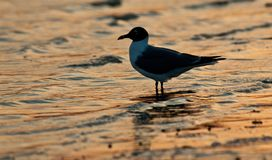 Laughing Gull at Sunset. Sea bird wades in the water on Florida`s Gulf Coast stock photo