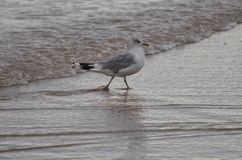 Sea Bird wading at the shore. Portrush Co.Antrim, Northern Ireland Royalty Free Stock Image