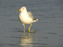 Sea bird wading in the surf Stock Photo