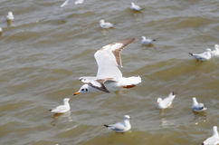 Sea bird white Seagull. Seagulls flying in the sea Stock Image