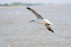 Sea bird white Seagull. Seagulls flying in the blue sky Stock Images