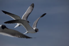 Sea Birds. In the sky of the Outer Banks in North Carolina Royalty Free Stock Images