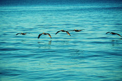 Sea birds. Fliying sea birds looking for prey in the early morning, caribean sea Puerto Rico Royalty Free Stock Images