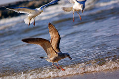 Sea birds in action Royalty Free Stock Photos