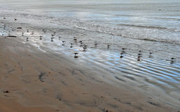 Sea birds on beach looking for worms Royalty Free Stock Photo