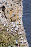 Sea birds at bempton cliffs 2 Stock Photo