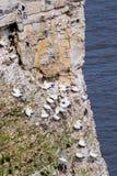 Sea birds at bempton cliffs 2. Sea bird colony at bempton cliffs Stock Photo
