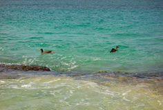 Sea birds bobbing close to shore. Sooty terns fishing off a reef  in the caribbean Stock Images