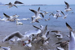 Sea birds commotion Royalty Free Stock Photos