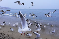 Sea birds commotion Royalty Free Stock Image