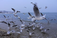 Sea birds commotion Stock Photo