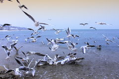 Sea birds commotion Royalty Free Stock Photography