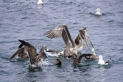 Sea birds festing Stock Photos