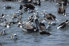 Sea Birds are Fishing Royalty Free Stock Image