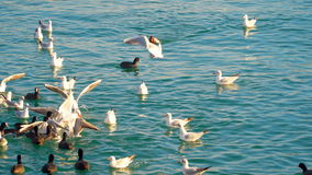 Sea birds floating in the sea stock footage
