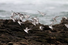 Sea birds flock Royalty Free Stock Photos