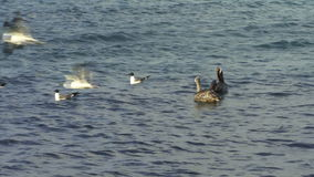 Sea Birds Flying. Sea Birds eating and Flying in the sea water stock video footage