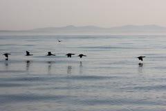 Sea Birds. Flying over calm sea royalty free stock image