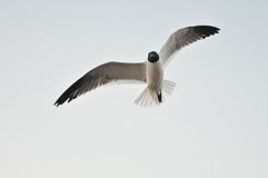 Sea birds flying Royalty Free Stock Photography
