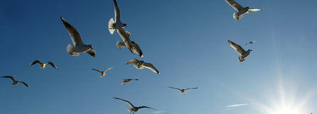 Sea birds flying Stock Photos