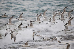 Sea birds Stock Photography