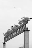 Sea birds in line. Gulls—the larger species in particular—are resourceful, inquisitive and intelligent[10] birds, demonstrating complex methods of Stock Images