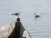 Seagull birds, Lithuania Royalty Free Stock Image