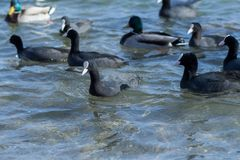 Sea birds Royalty Free Stock Image