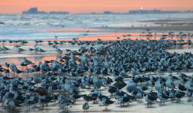 Sea Birds Massing on Beach. Large flocks of sea birds gather on Daytona Beach during sunrise Stock Images