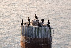 Sea Birds on a piling Stock Images