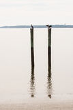 Sea Birds on Pilings with Reflection Royalty Free Stock Image