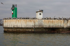 Sea Birds on the Quayside. Large numbers of seabirds on the quayside at the entrance to the harbour in Arica, Chile Royalty Free Stock Image