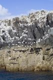 Sea birds on rocky cliffs. Seagulls and Shags on the Farne Islands in Northumbria, England royalty free stock images