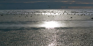 Sea birds on Silvery Sands in late winters afterno Stock Images