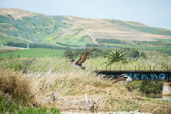 Sea birds soaring in the hills Stock Photography