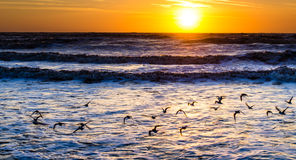 Sea birds at sunrise Stock Images