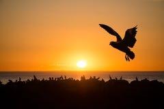 Sea Birds at Sunset. Near Cape Jervois Royalty Free Stock Photos