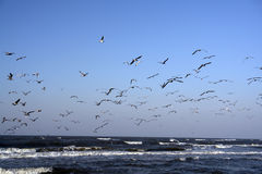 Sea Birds Take Flight stock image
