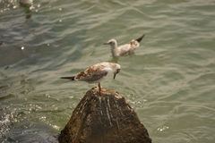 Sea birds Stock Image
