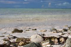 Sea Biscuit on a Bahama Beach Stock Photography