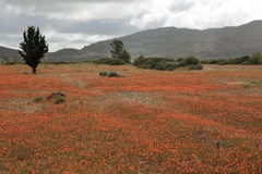 Sea of blossom in the Namib after a rainstorm Royalty Free Stock Photos