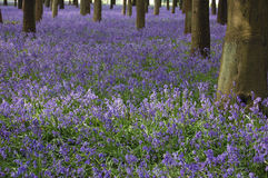 Sea of bluebells Stock Images