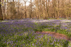 Sea of bluebells in Sussex Wood Stock Image