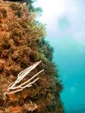 Sea bottom with rock with coral. Fondo maritimo en el mediterraneo con fondo azul royalty free stock images