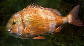 Sea bream 1 Royalty Free Stock Image