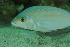 Sea bream - Andaman Sea Royalty Free Stock Image