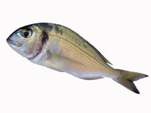 Sea bream fish Stock Images