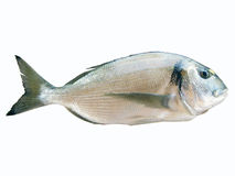 Sea Bream Fish royalty free stock photo