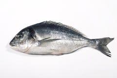 Sea Bream Fish Royalty Free Stock Photo