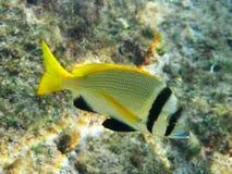 Sea bream fish. A yellow sea bream fish from Red Sea Stock Photo